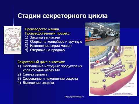 Эпителиальные ткани. Железистые эпителии