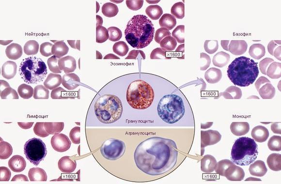 Нейтрофилы и их функции