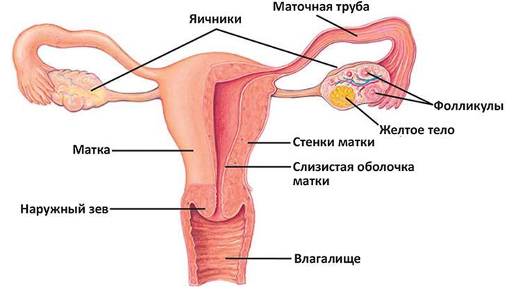 Схема строения женских половых органов